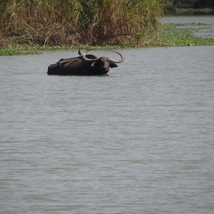 Asian Wild Water Buffalo