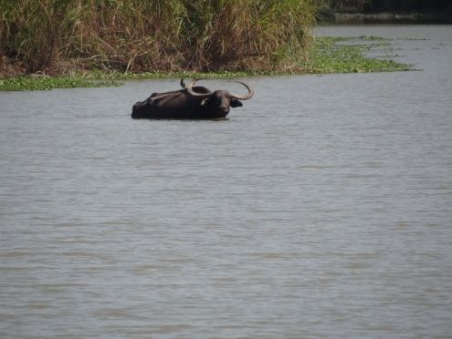 Asian Wild Water Buffalo