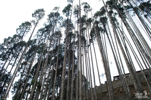 nearly 3 kms away from Old Ziro is an area that is entirely clad in majestic Pine trees
