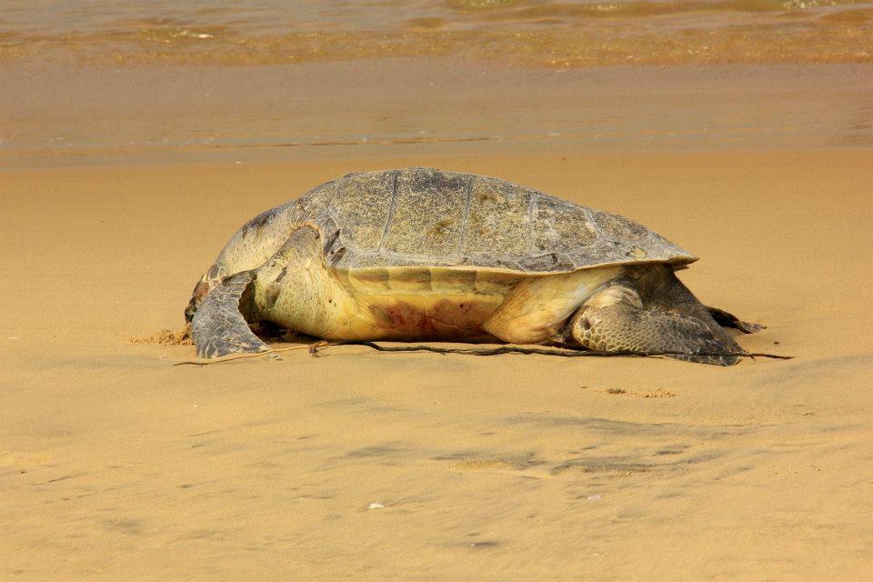 The Slow Death of Odisha's Living Marine Heritage; the Olive RidleyTurtles