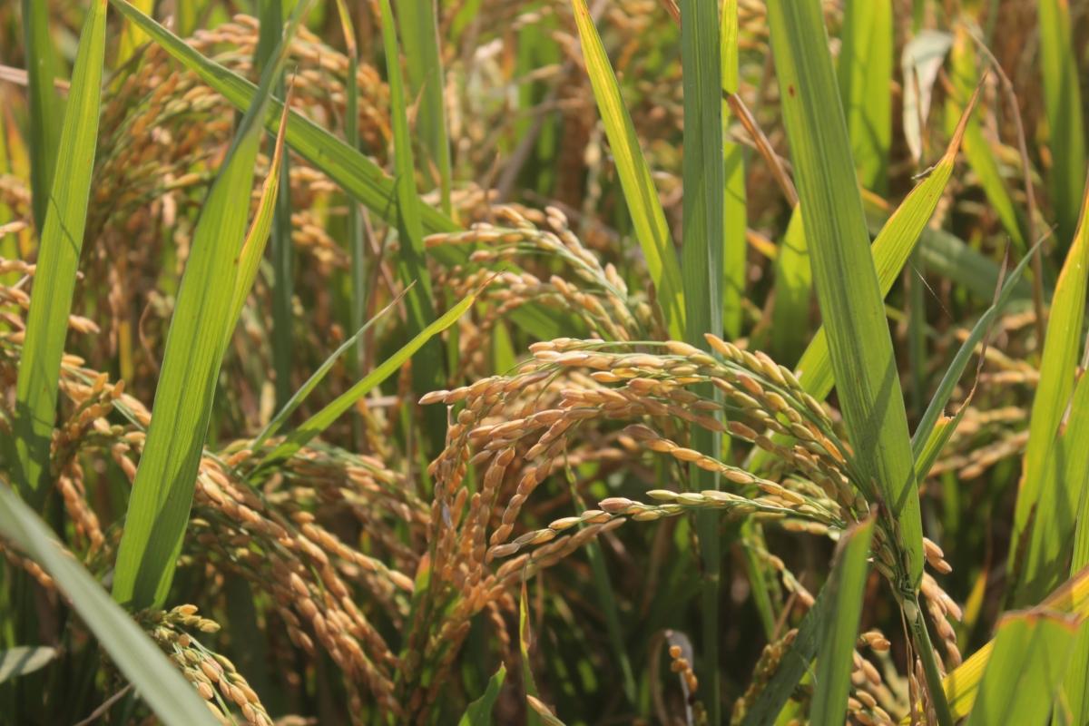 From 'Muthi Anukula' to 'Kheta Badia' – A Photo Journey through Odia RiceCulture